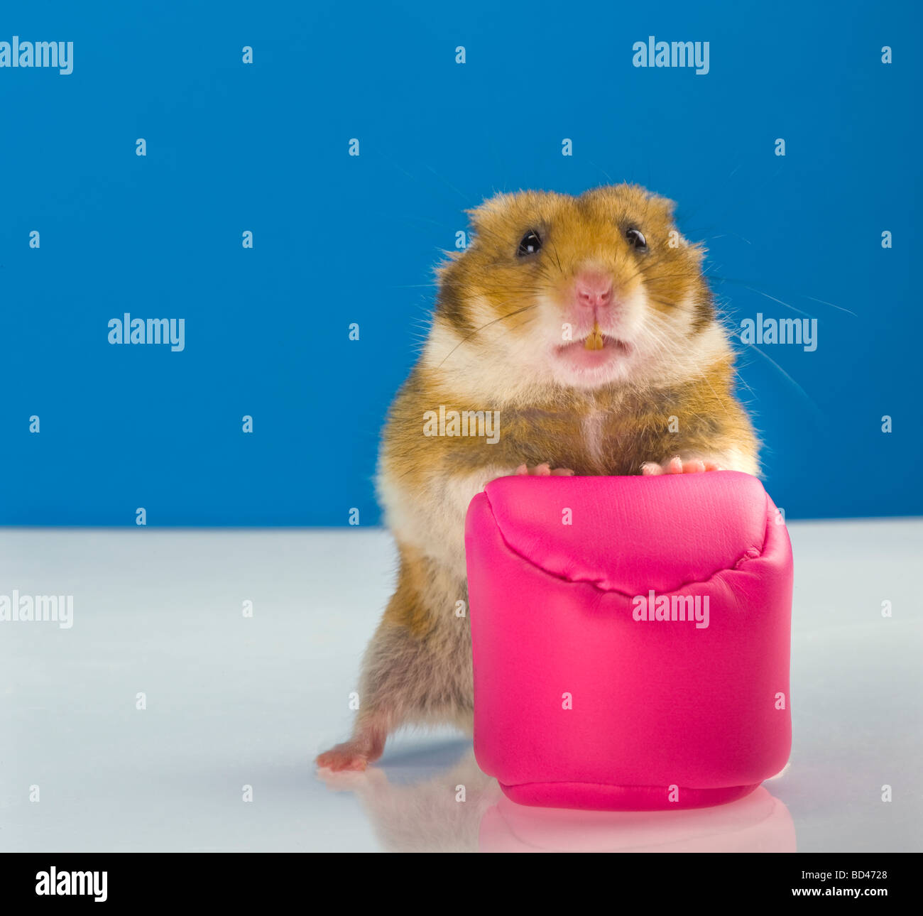 brown Hamster blue background goldhamster pink cushion pillow stand standing look looking rose blue plain background - Stock Image