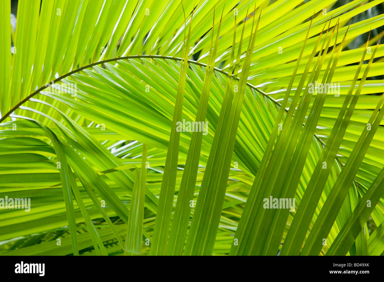 Palm frond details ideal for a jungle background - Stock Image