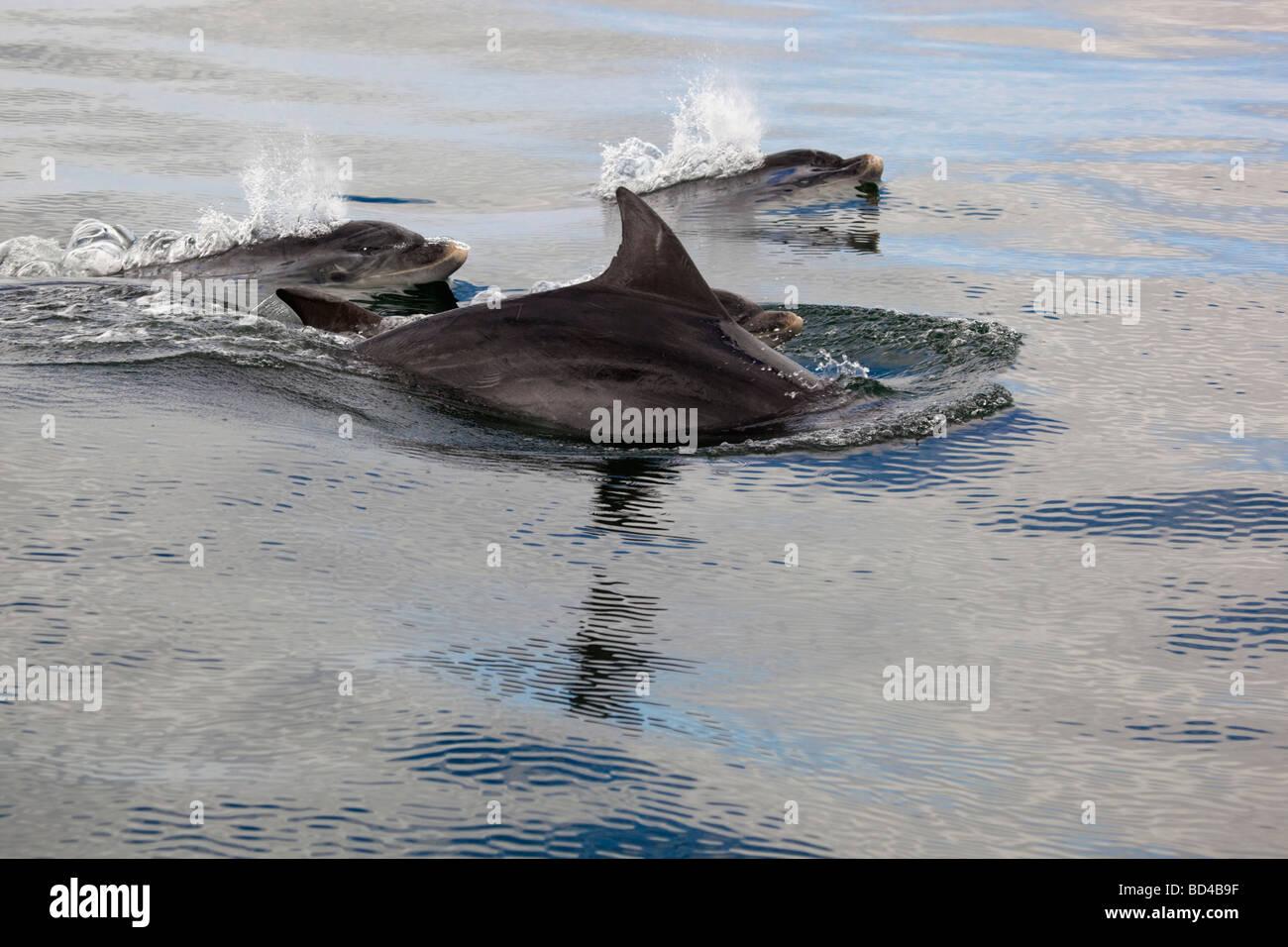 pod of bottlenose dolphins Tursiops truncatus Stock Photo