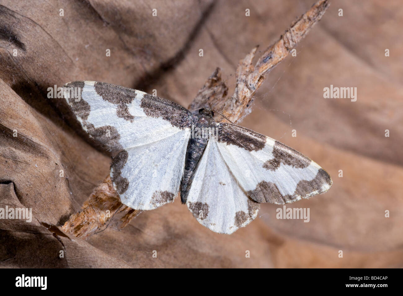 clouded border moth Lomaspilis marginata - Stock Image