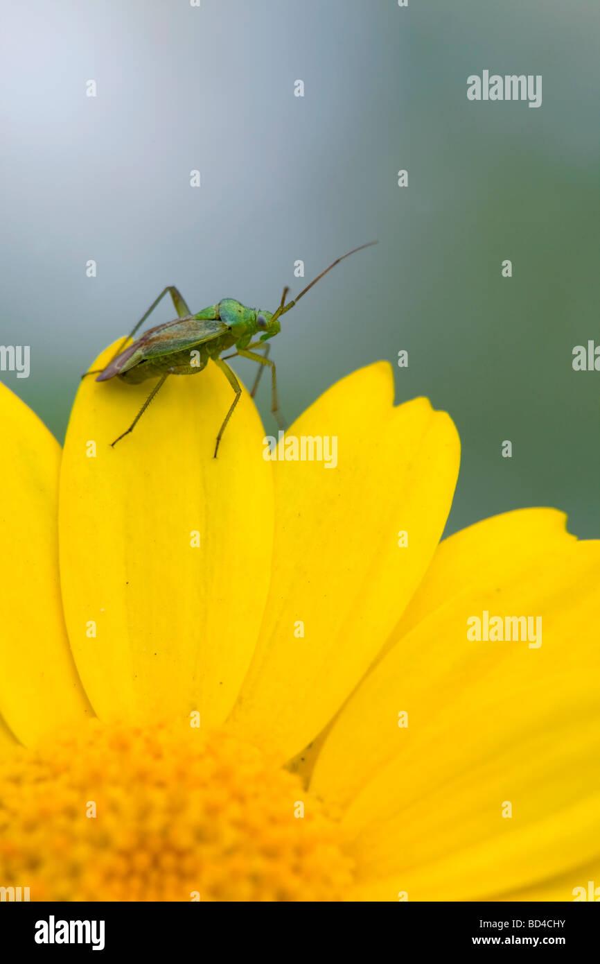 common green capsid Lygocoris pabulinus on yellow flower - Stock Image