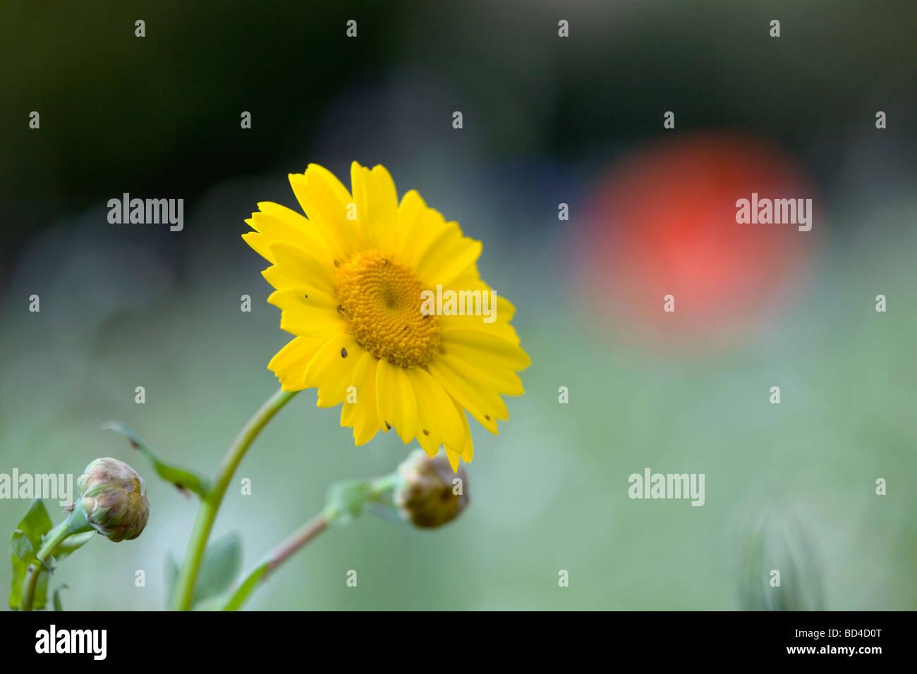 corn marigold Chrysanthemum segetum Stock Photo