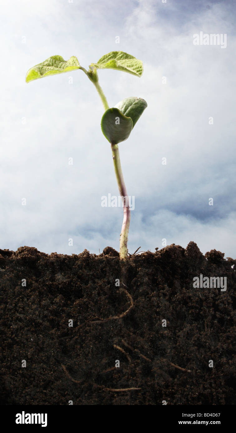 Young Soy Bean Plant and Root System Shown Below Soil Surface - Stock Image
