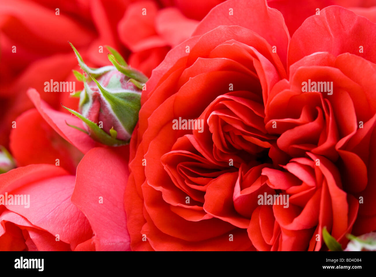 red patio rose - Stock Image