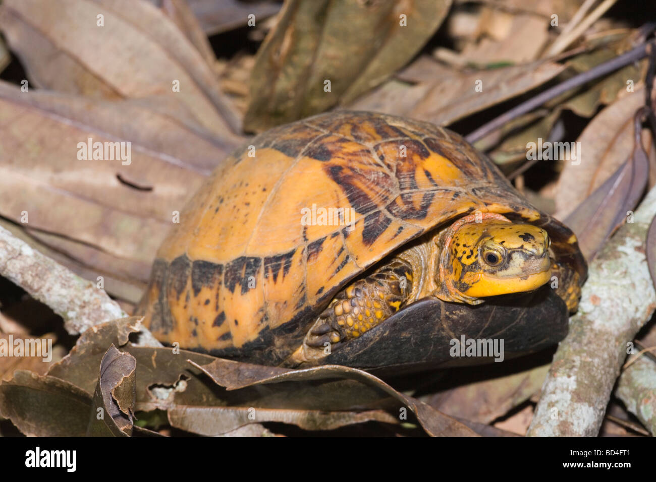 Indochinese Flowerback Box Turtle (Cuora galbinifrons). Head forelimbs emerging from between upper and lowered shell, Stock Photo