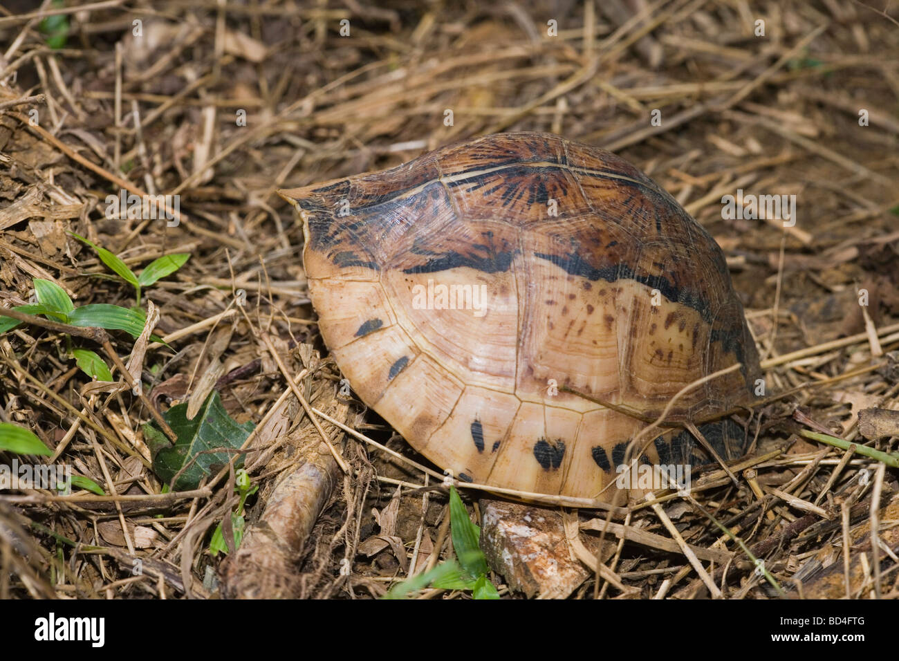 Indochinese Flowerback Box Turtle (Cuora galbinifrons). On the forest floor. Head and limbs withdrawn into the shell. - Stock Image
