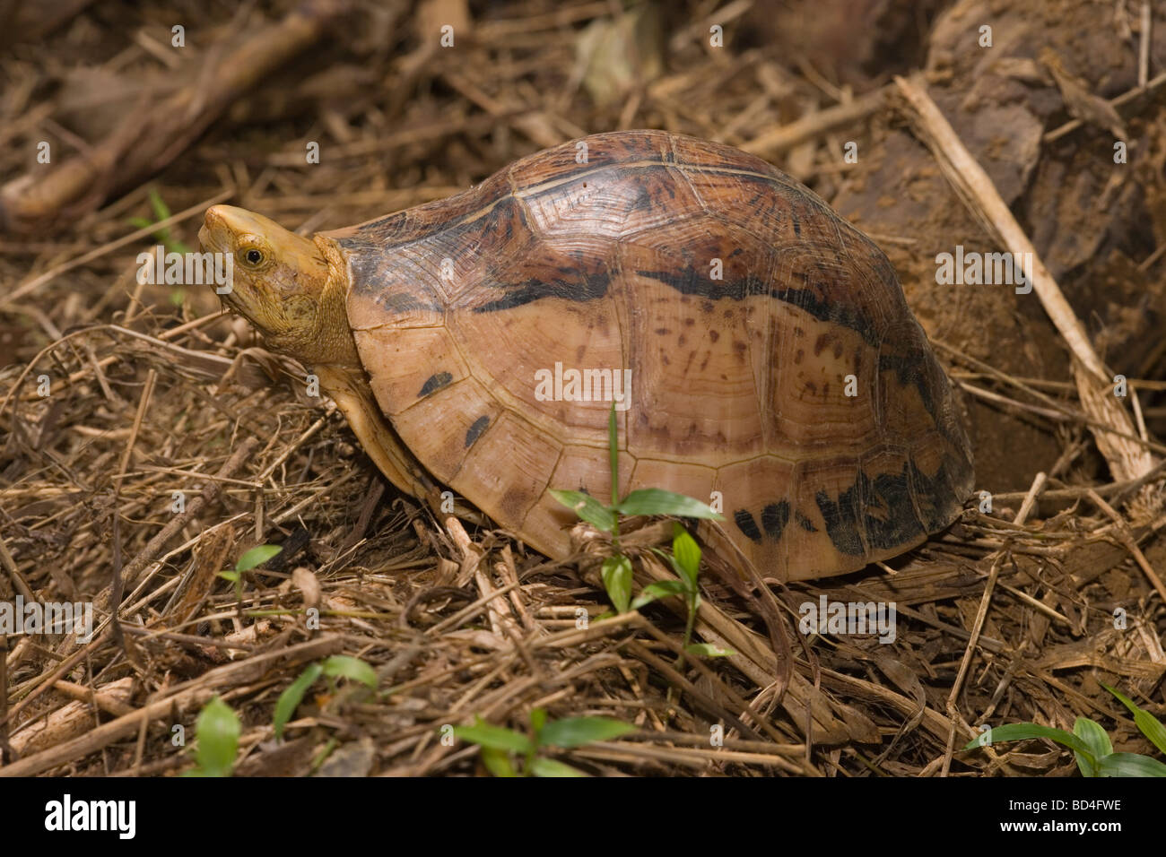 Indochinese Flowerback Box Turtle (Cuora galbinifrons). Head emerging from between upper and lowered shell, or plastron, Stock Photo