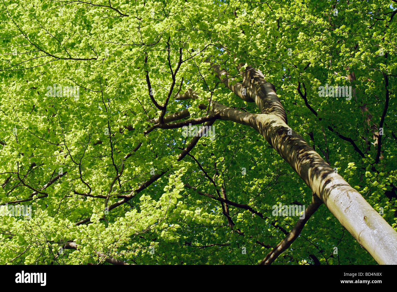 Young beech tree, low angle view. - Stock Image