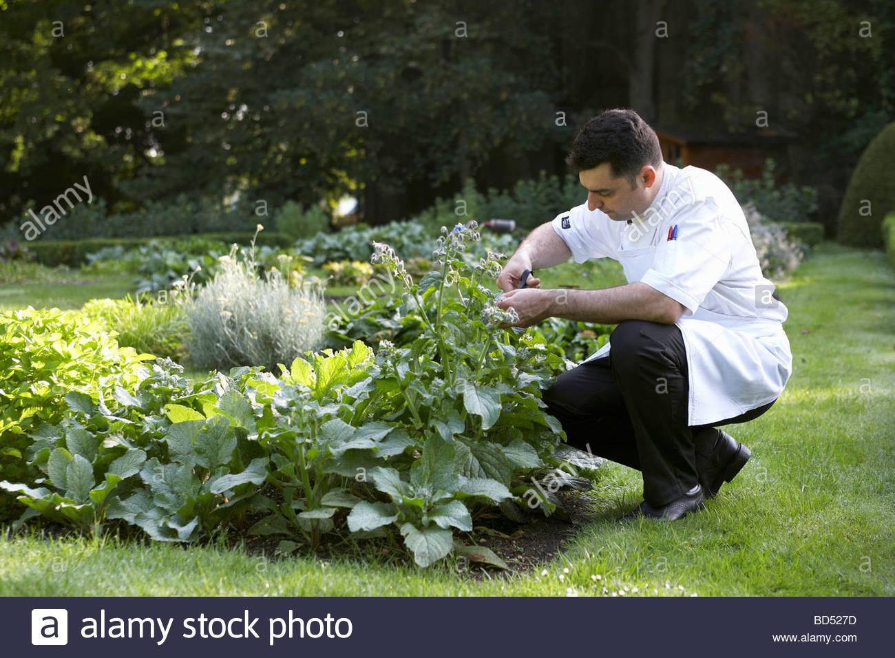 Chef Garden: Chef Picking Herbs In Garden Stock Photo: 25312433