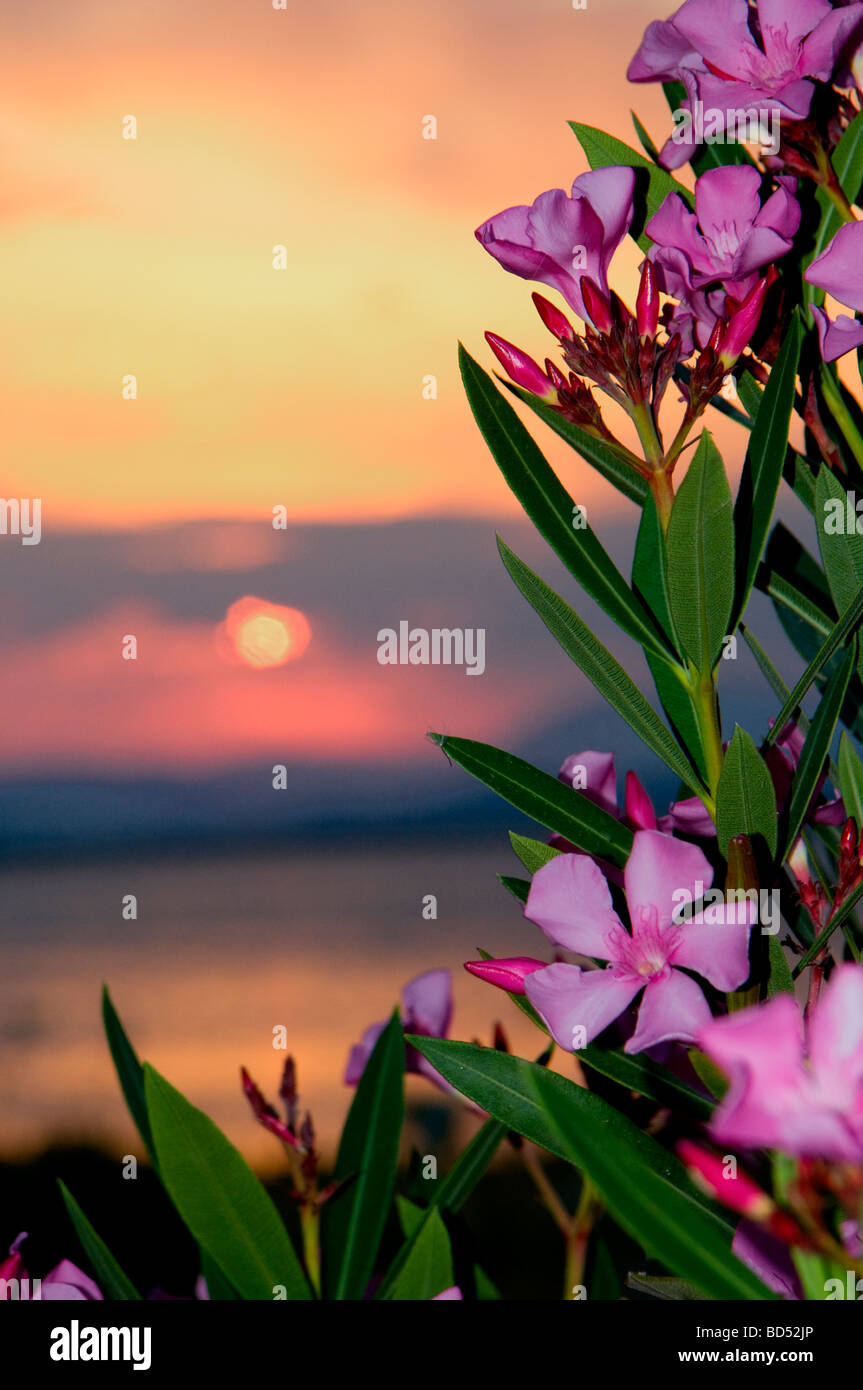 Nerium oleander  ( oleander) at sunset - Stock Image