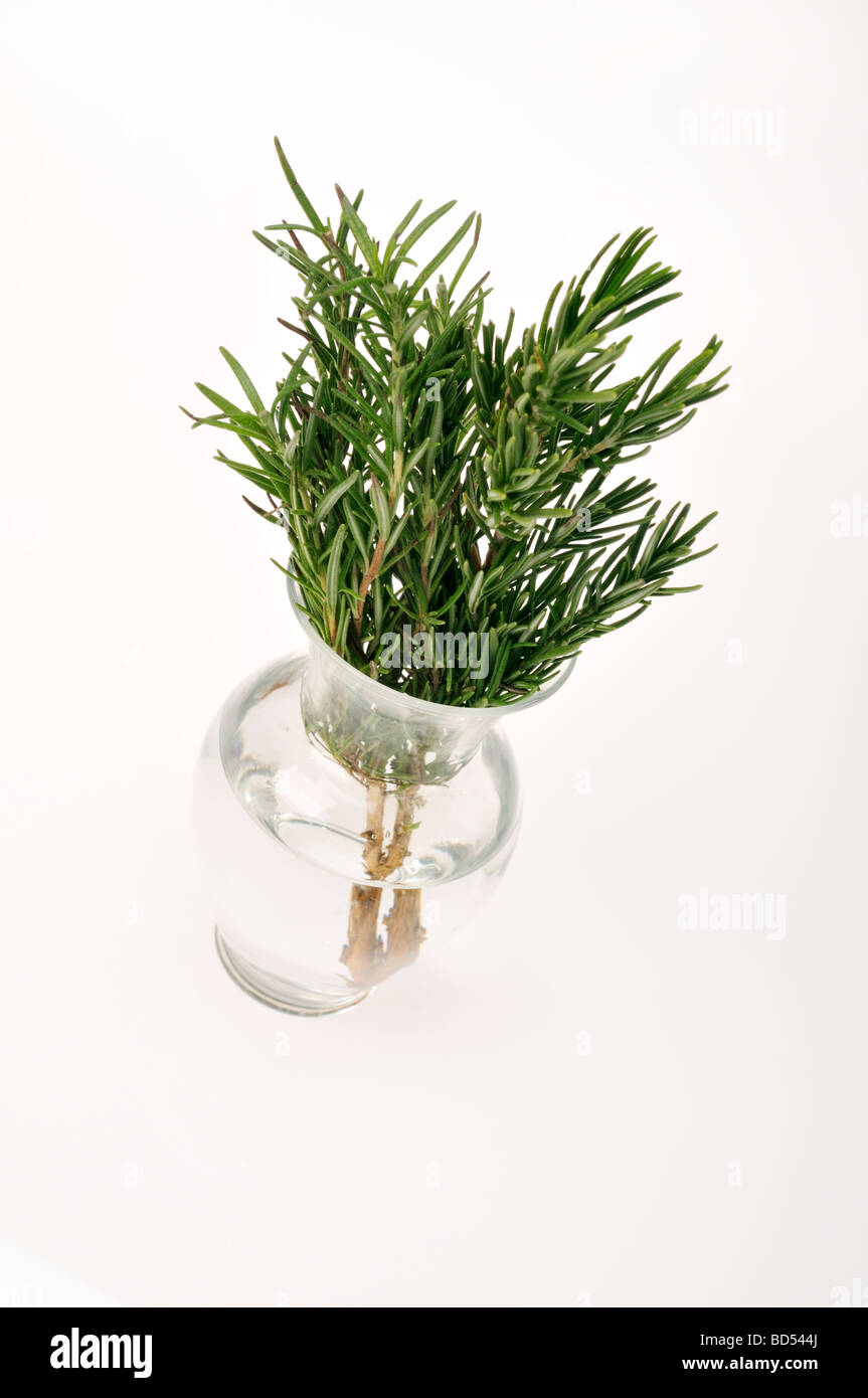 Sprigs of frsh cut Rosemary herb in glass with water on white background. - Stock Image