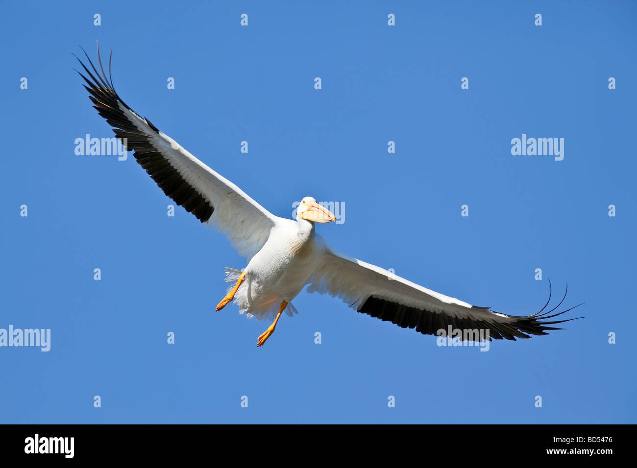 American White Pelican or Rough-billed Pelican (Pelecanus erythrorhynchos), in flight - Stock Image