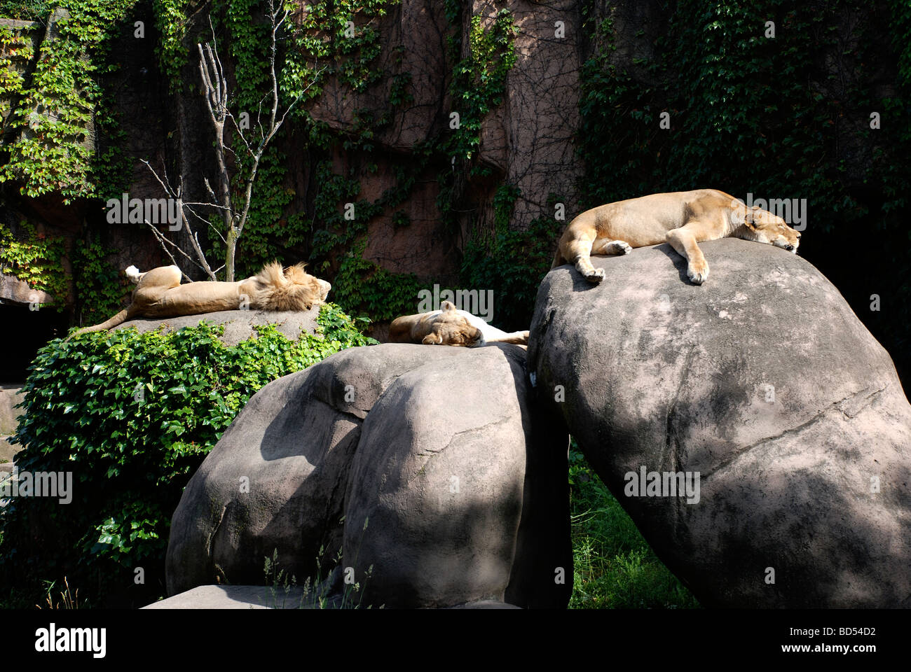 Lazy lions at Lincoln Park Zoo - Stock Image