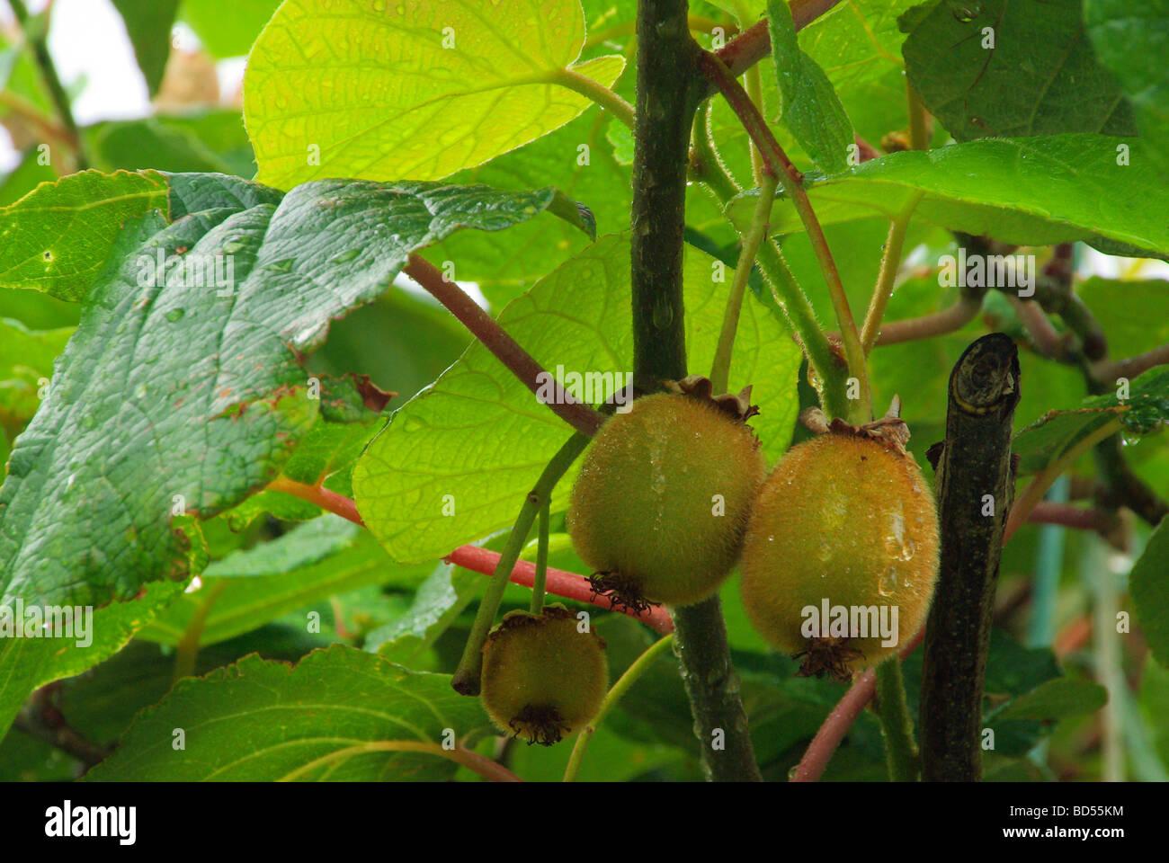 Kiwi am Strauch kiwi on bush 01 - Stock Image