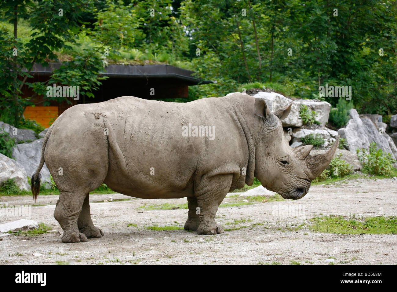 White Rhinoceros, Square-lipped Rhinoceros (Ceratotherium simum), male at Hellbrunn Zoo, Salzburg, Austria - Stock Image