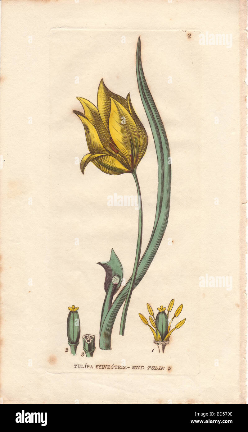 Fine copperplate engraving of yellow wild tulip (Tulipa sylvestris) from Baxter's 'British Flowering Plants' - Stock Image