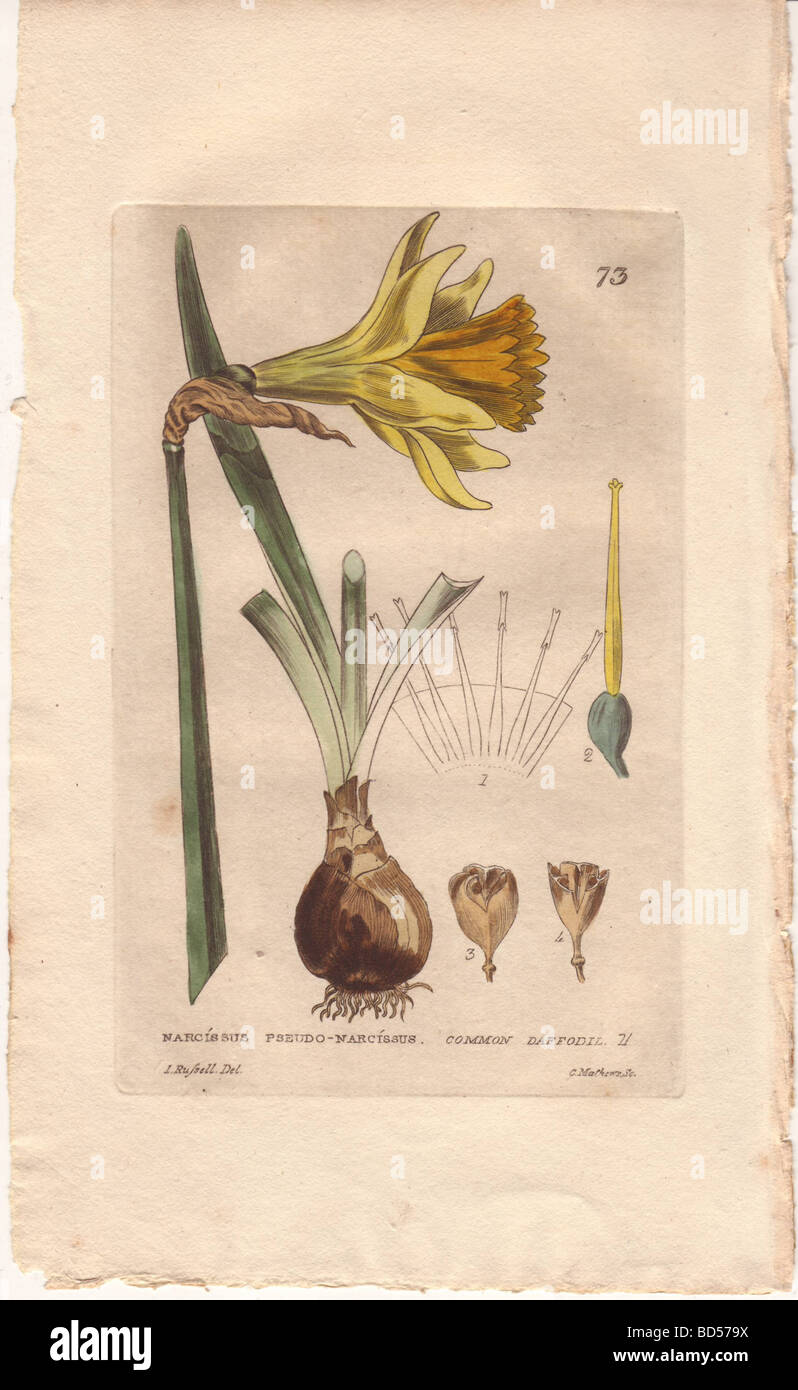 Fine engraving of a yellow daffodil flower (Narcissus pseudo-narcissus), bulb, from Baxter's 'British Flowering - Stock Image