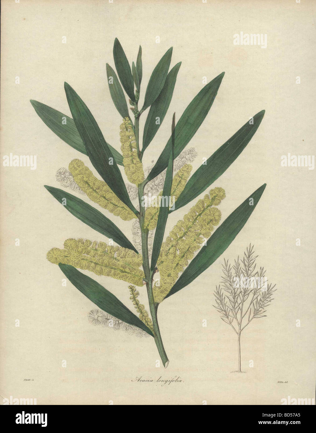 Fine Copperplate Engraving Of A Yellow Flowered Acacia Tree Acacia