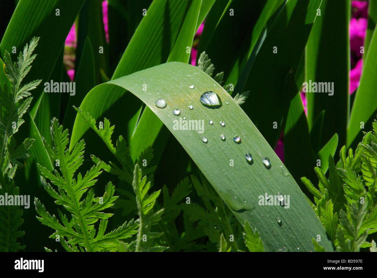 Wassertropfen auf Blatt waterdrop on leaf 02 - Stock Image