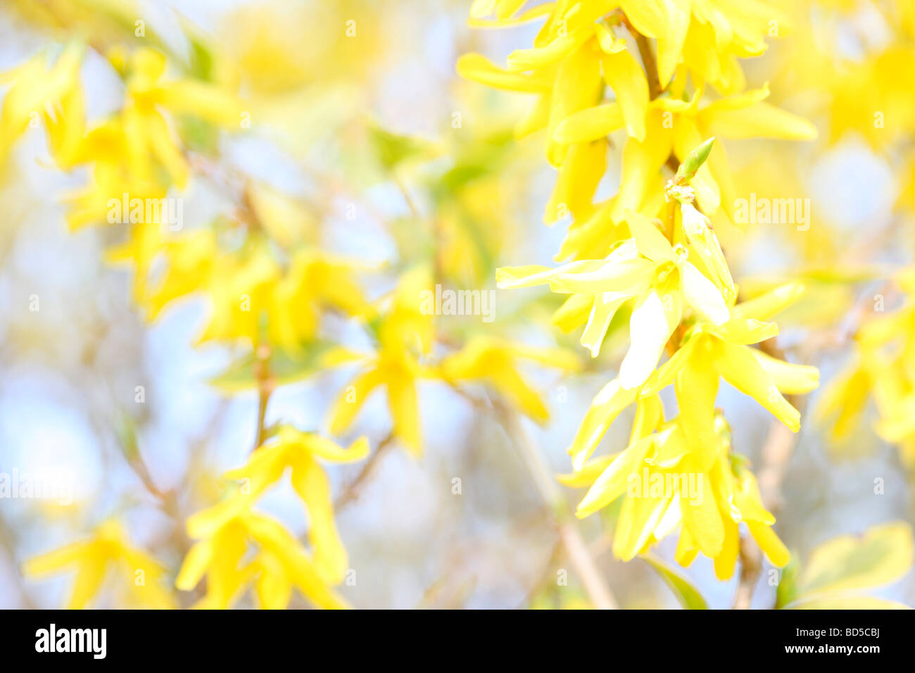 charming yellow forsythia stems in a contemporary style fine art photography Jane Ann Butler Photography JABP525 Stock Photo