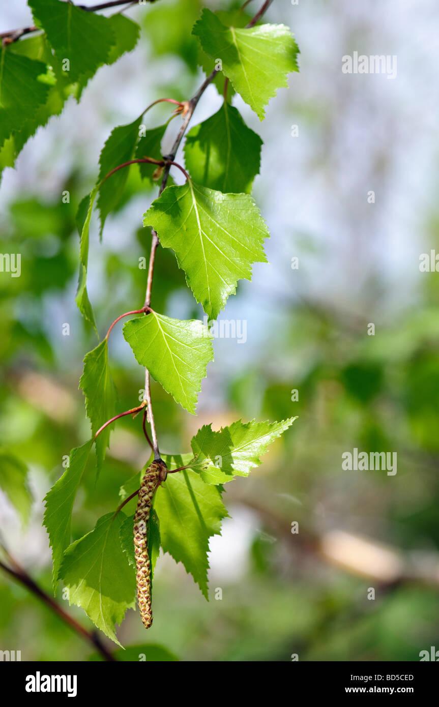 spring branch of birch tree - Stock Image