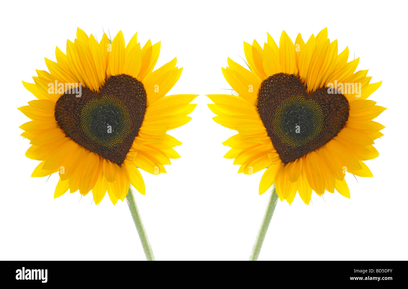 Sunflowers (Helianthus annuus) with tubular flowers in heart shape Stock Photo