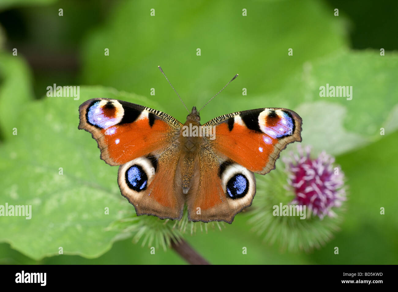 Peacock butterfly (Inachis io) settled with wings open on a burdock flower Stock Photo