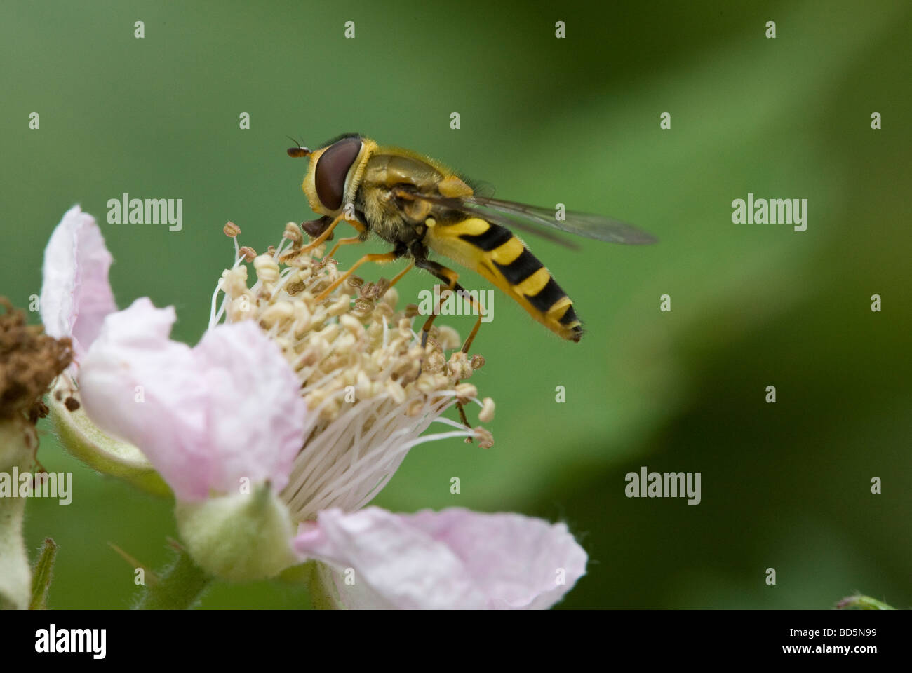 Hover-fly - Stock Image