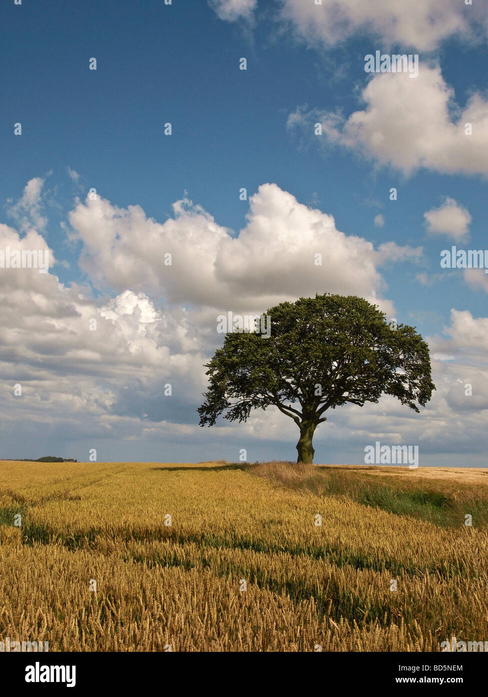 Lone sycamore tree in wheat field on Yorkshire Wolds UK - Stock Image