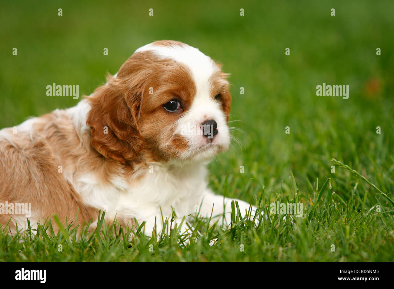 Cavalier King Charles Spaniel Puppy Blenheim 5 Weeks Stock Photo Alamy