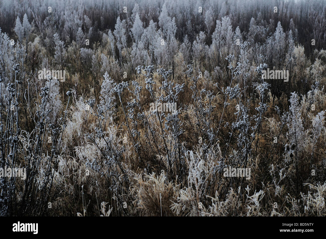Vegetation covered in frost in Northern France - Stock Image