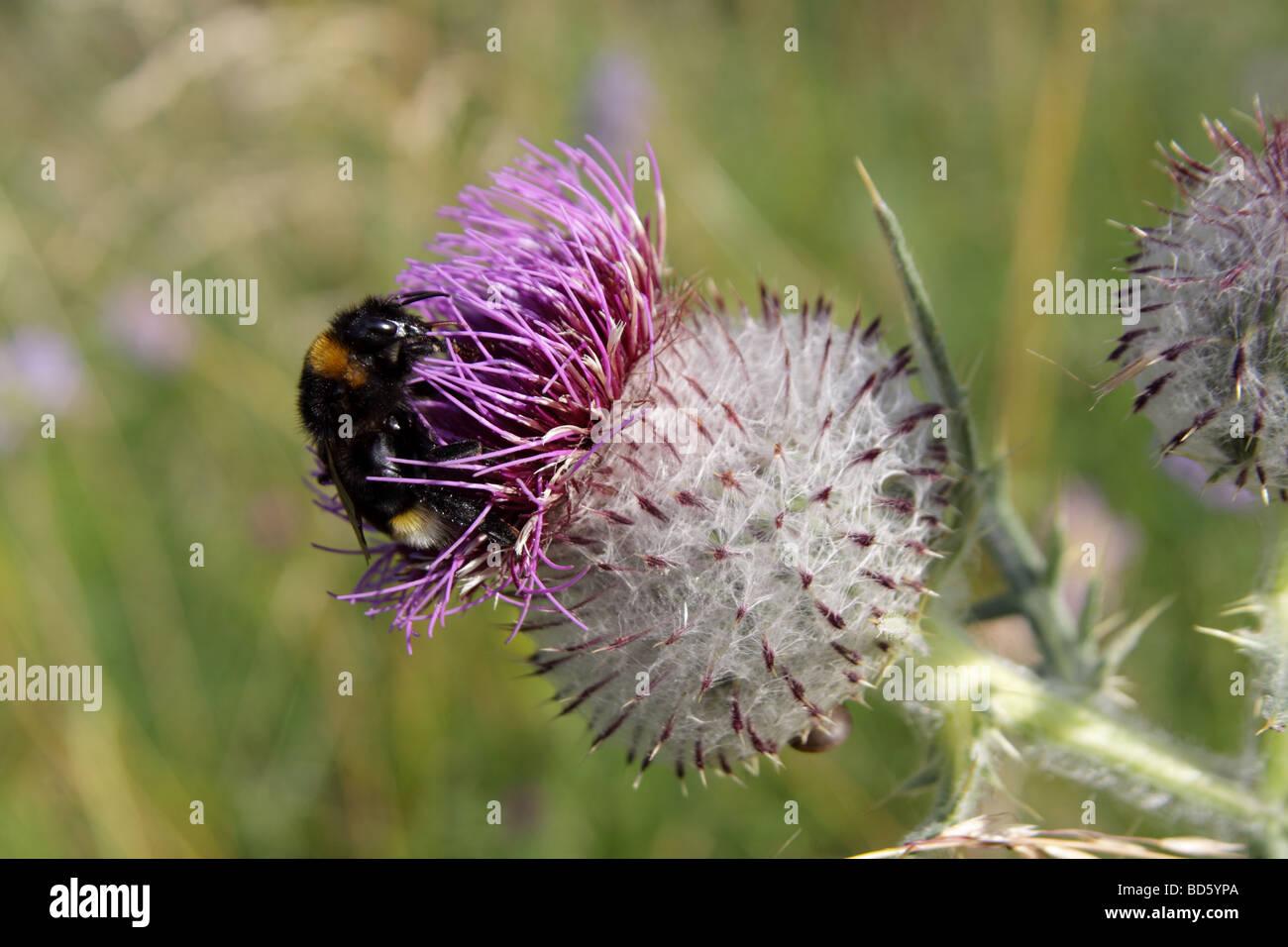 bumble bee bombus terrestris spear thistle bull thistle plumed thistle roadside thistle cirsium vulgare - Stock Image