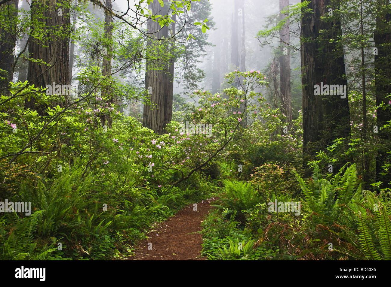 Rhododendron flowering, Redwood Forest. - Stock Image