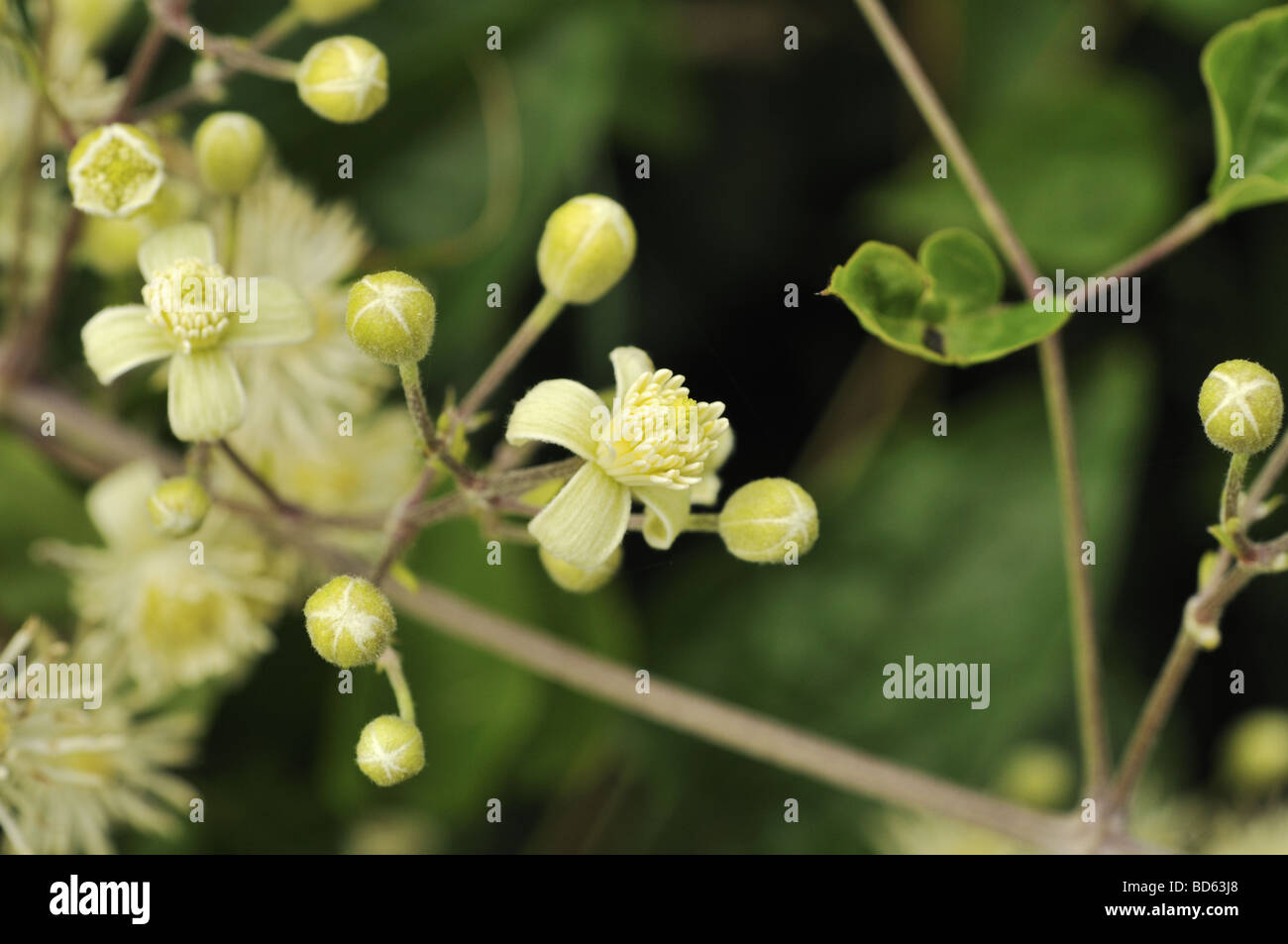 Clematis vitalba Old Man s Beard - Stock Image