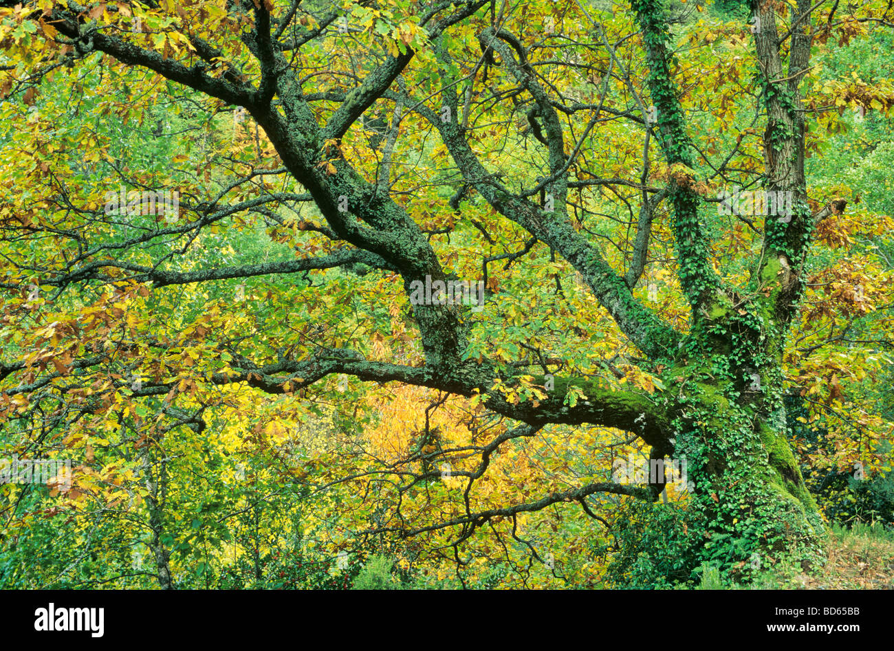 Oak Tree Quercus petraea in the mountains of the Sierra Ancares near Degrada Galicia Spain BEAN AL Pix 0125 - Stock Image