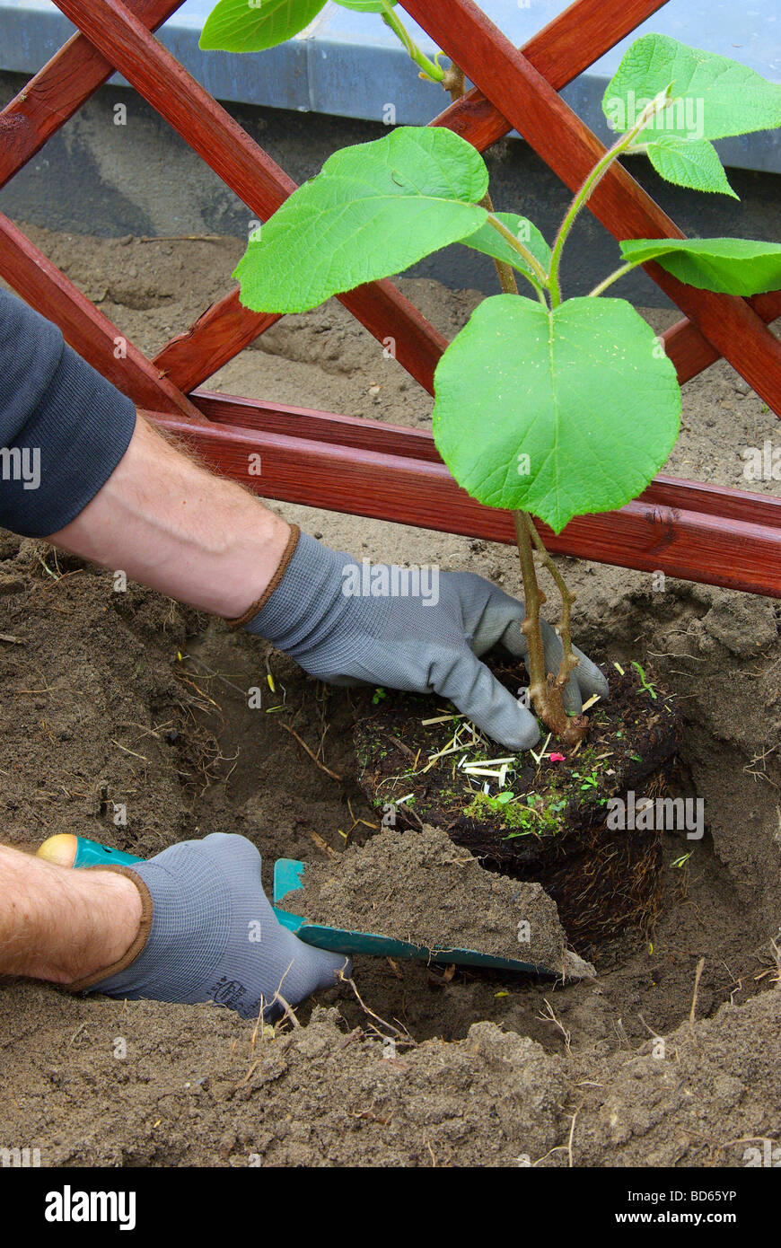 Kiwipflanze pflanzen planting a kiwi plant 03 - Stock Image