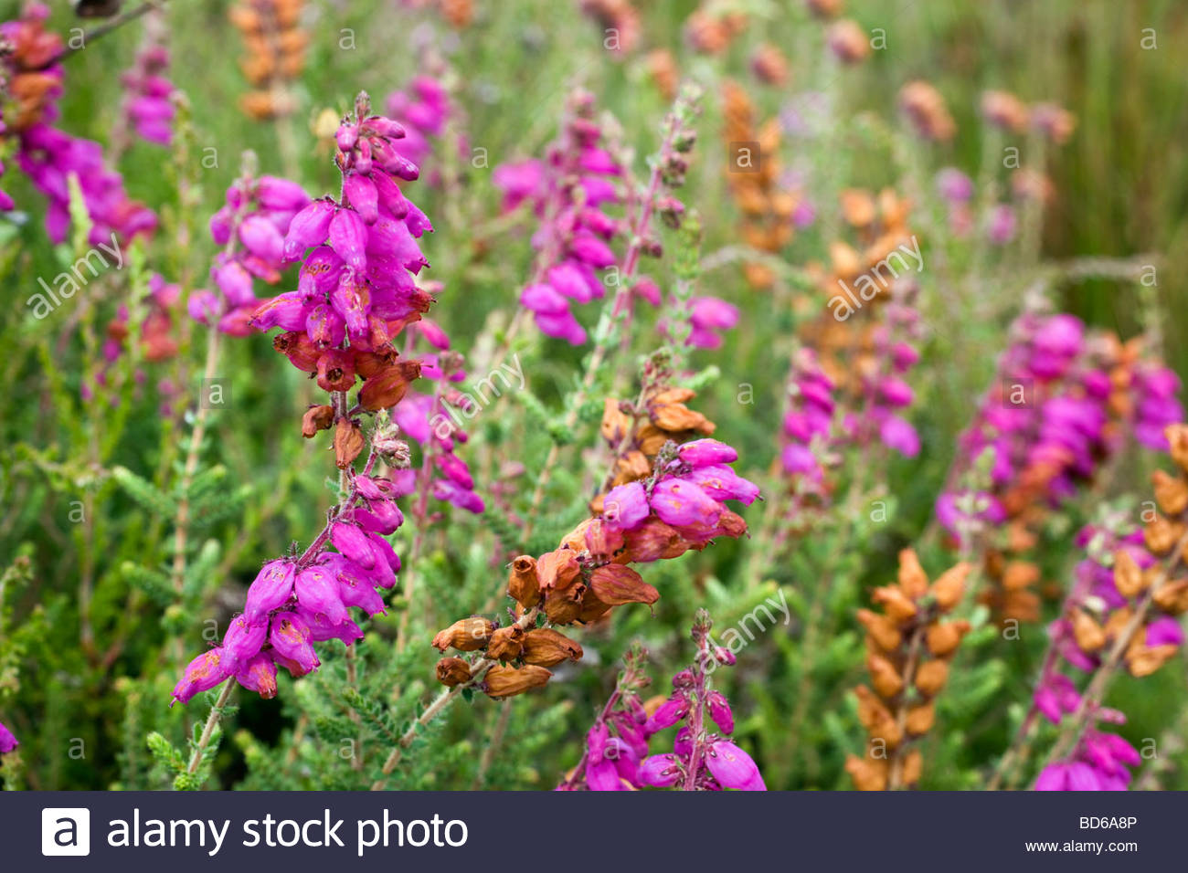 dorset heath Ericaceae ciliaris - Stock Image