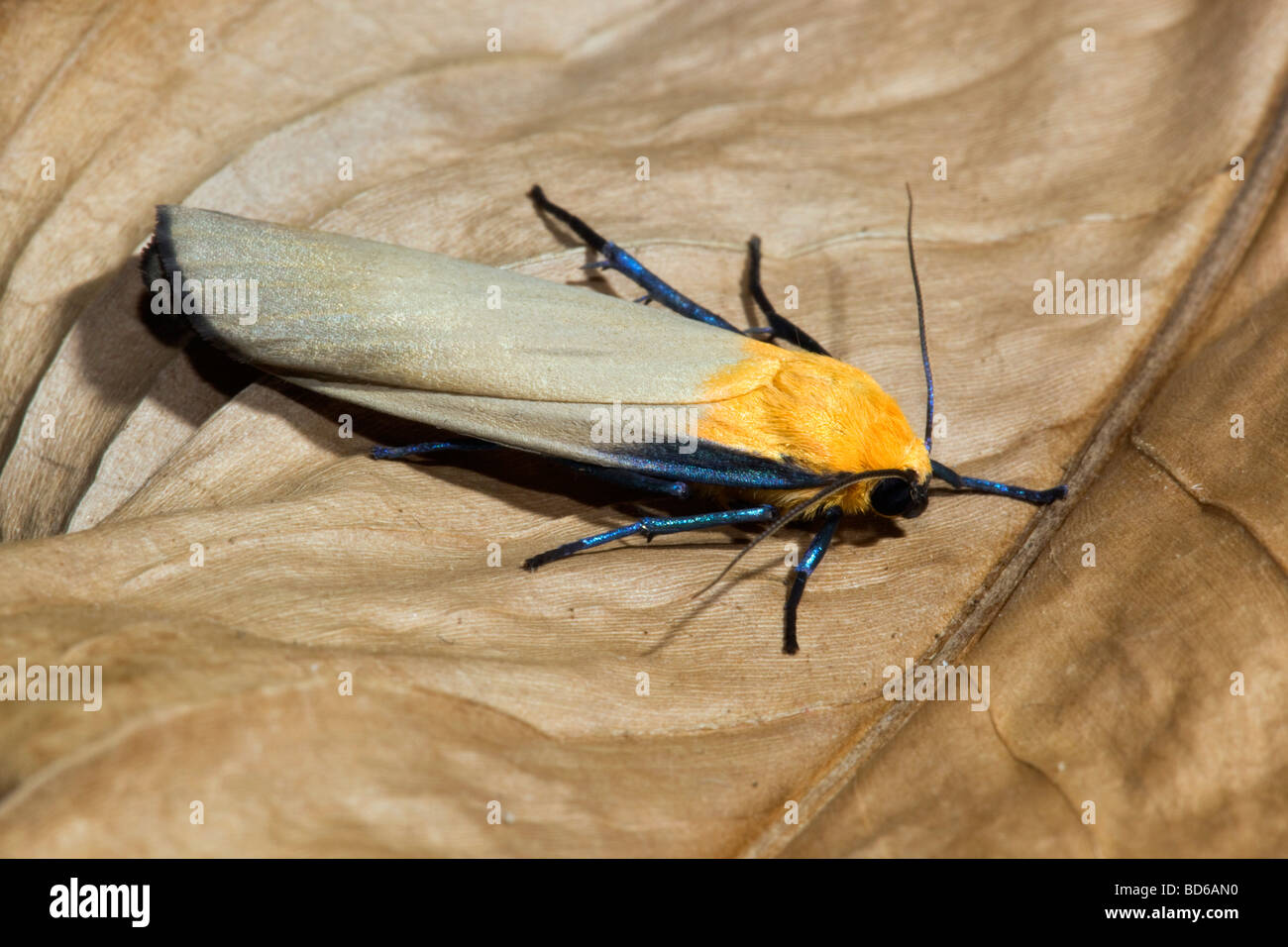four spotted footman moth Lithosia quadra male - Stock Image