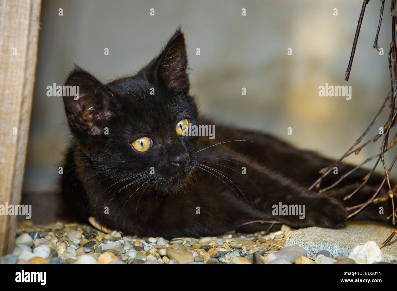 young black cat with mysterious yellow EYES kitten outdoor lay laying look looking animal cat kitten evening light - Stock Image