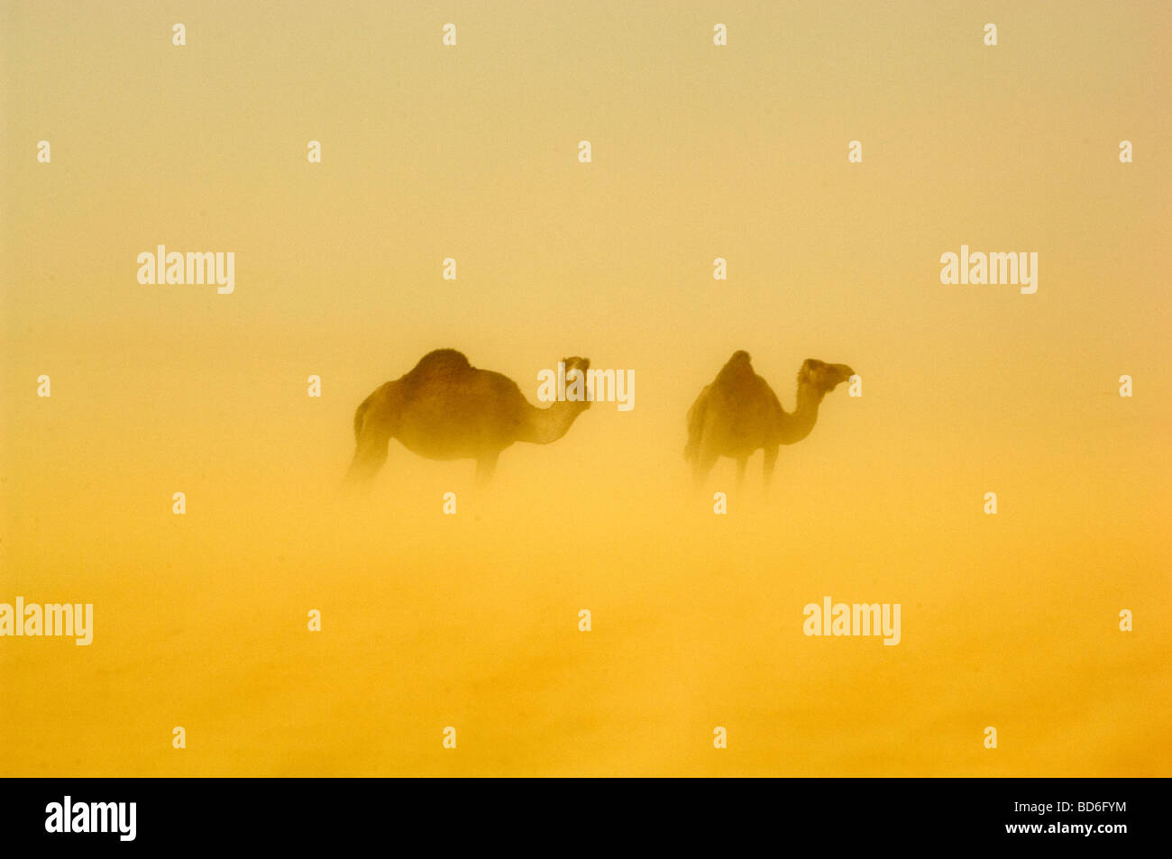 Arab Moors who live in the remote town of Boujbeja struggle to survive in the harsh desert Boujbeja means the luck - Stock Image
