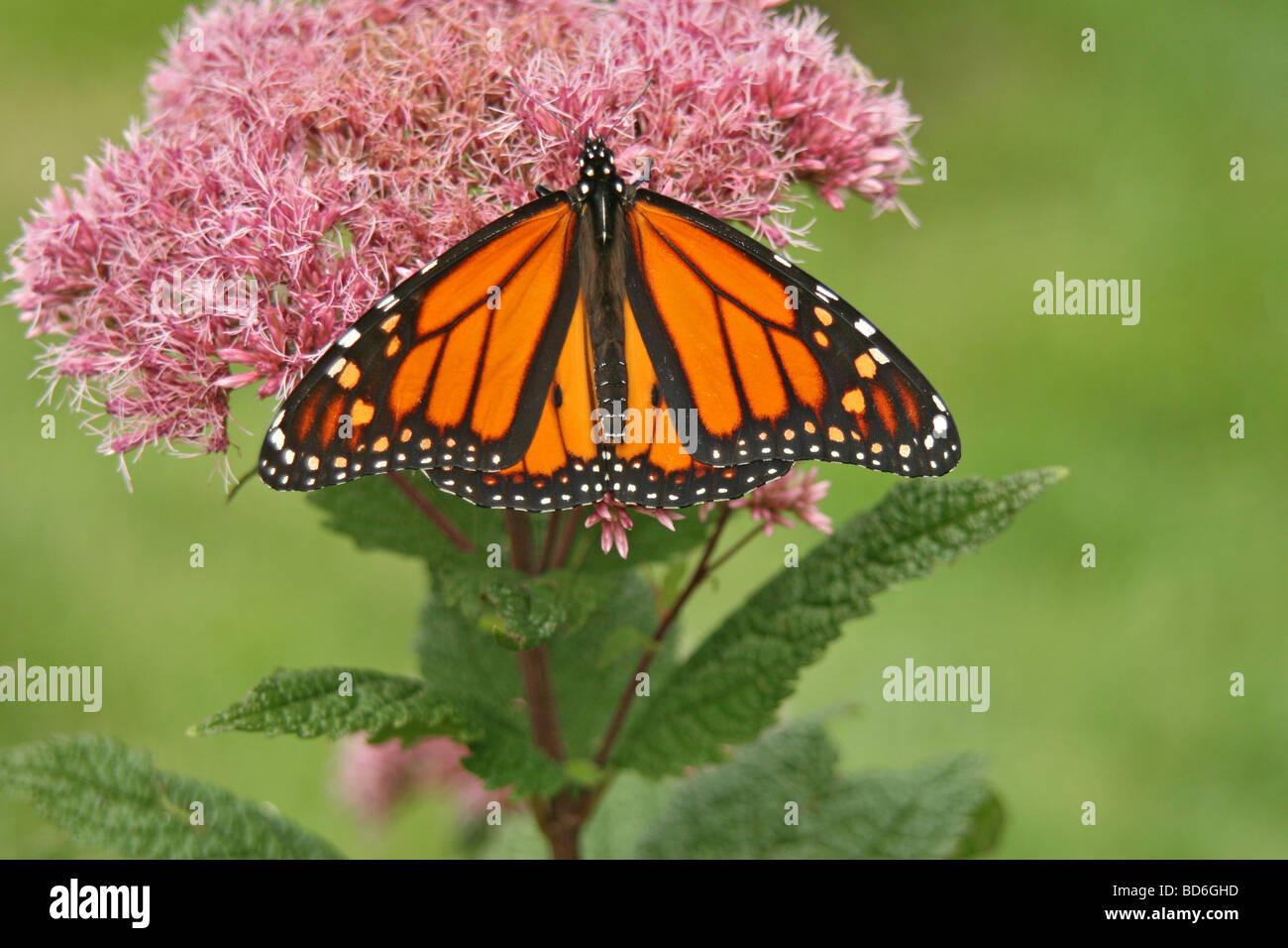 Monarch butterfly on Joe-pye-weed - Stock Image