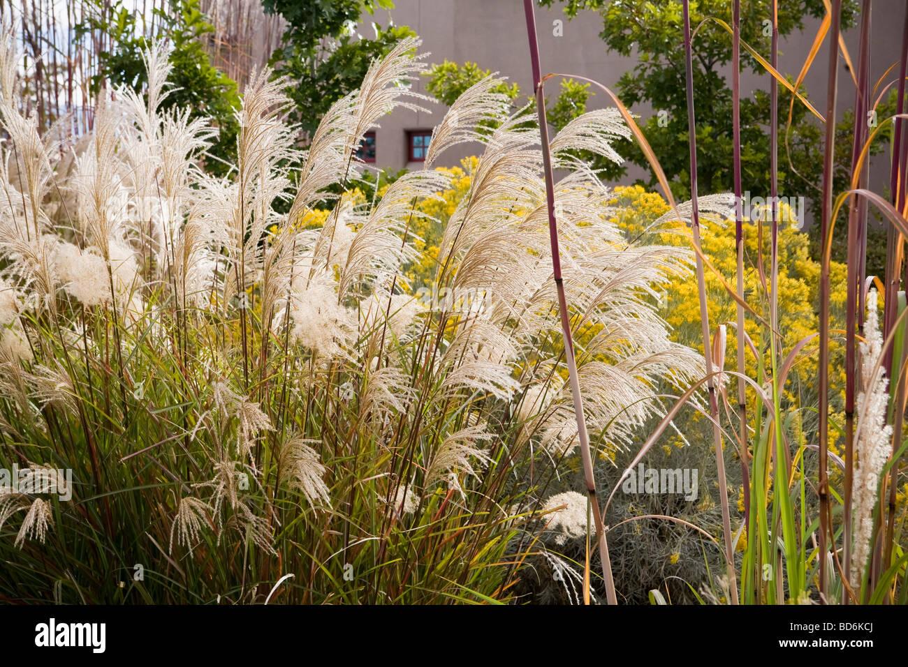Ornamental grass Miscanthus around rain garden water catch basin in ...
