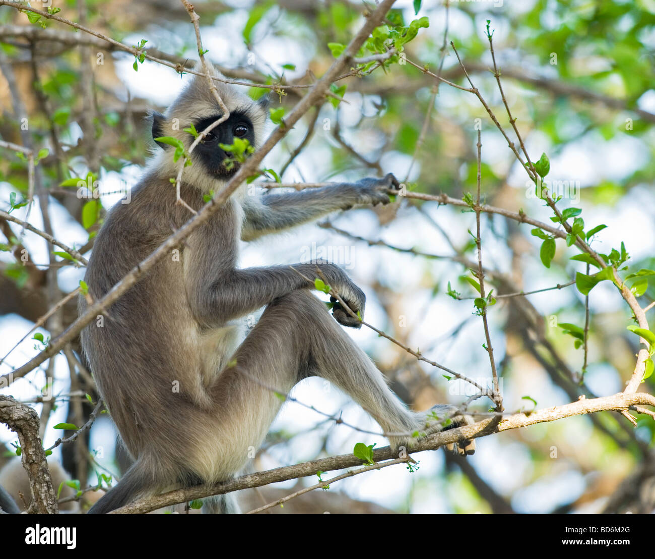 Grey Langur, Yala National Park, Sri Lanka - Stock Image