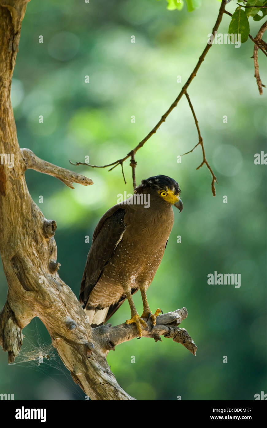 Crested Serpent Eagle, Yala National Park, Sri Lanka - Stock Image