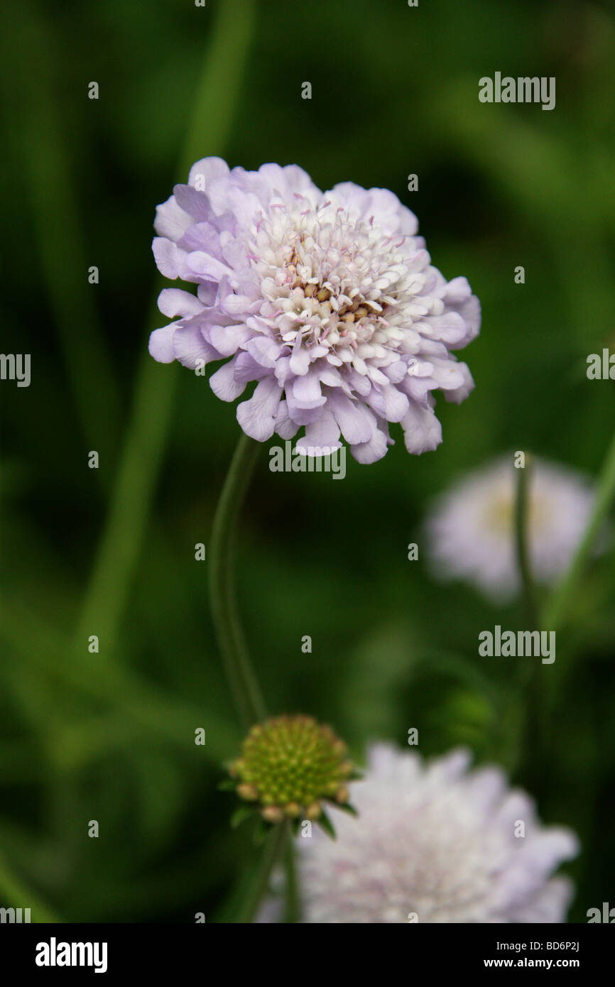 African Scabious, Scabiosa africana, Dipsacaceae, South Africa, Central Province Stock Photo