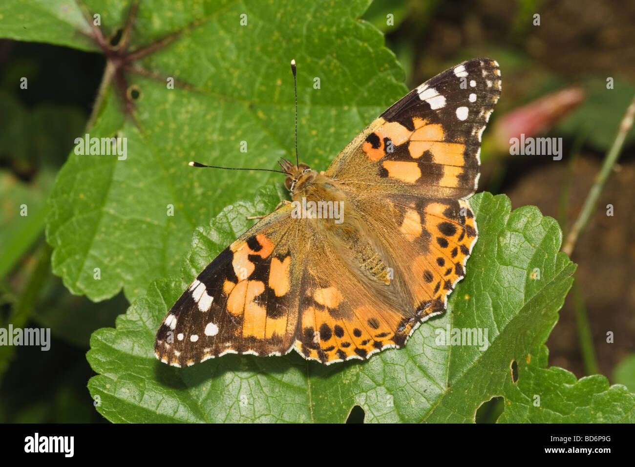A Painted Lady butterfly (Cynthia cardui) basking, Cambridgeshire, England, UK Stock Photo
