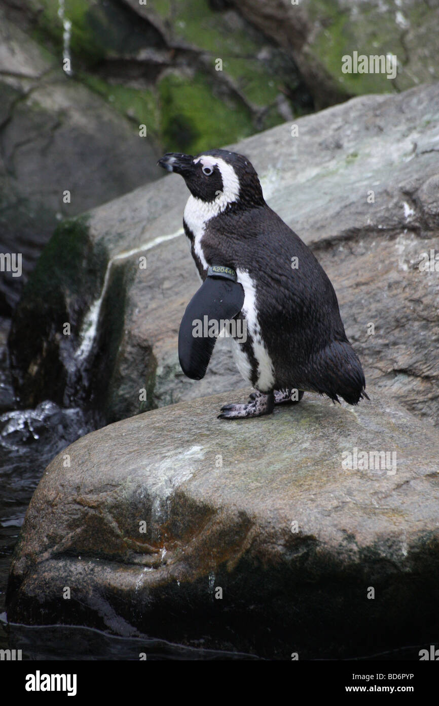 a penguin about to take the plunge - Stock Image