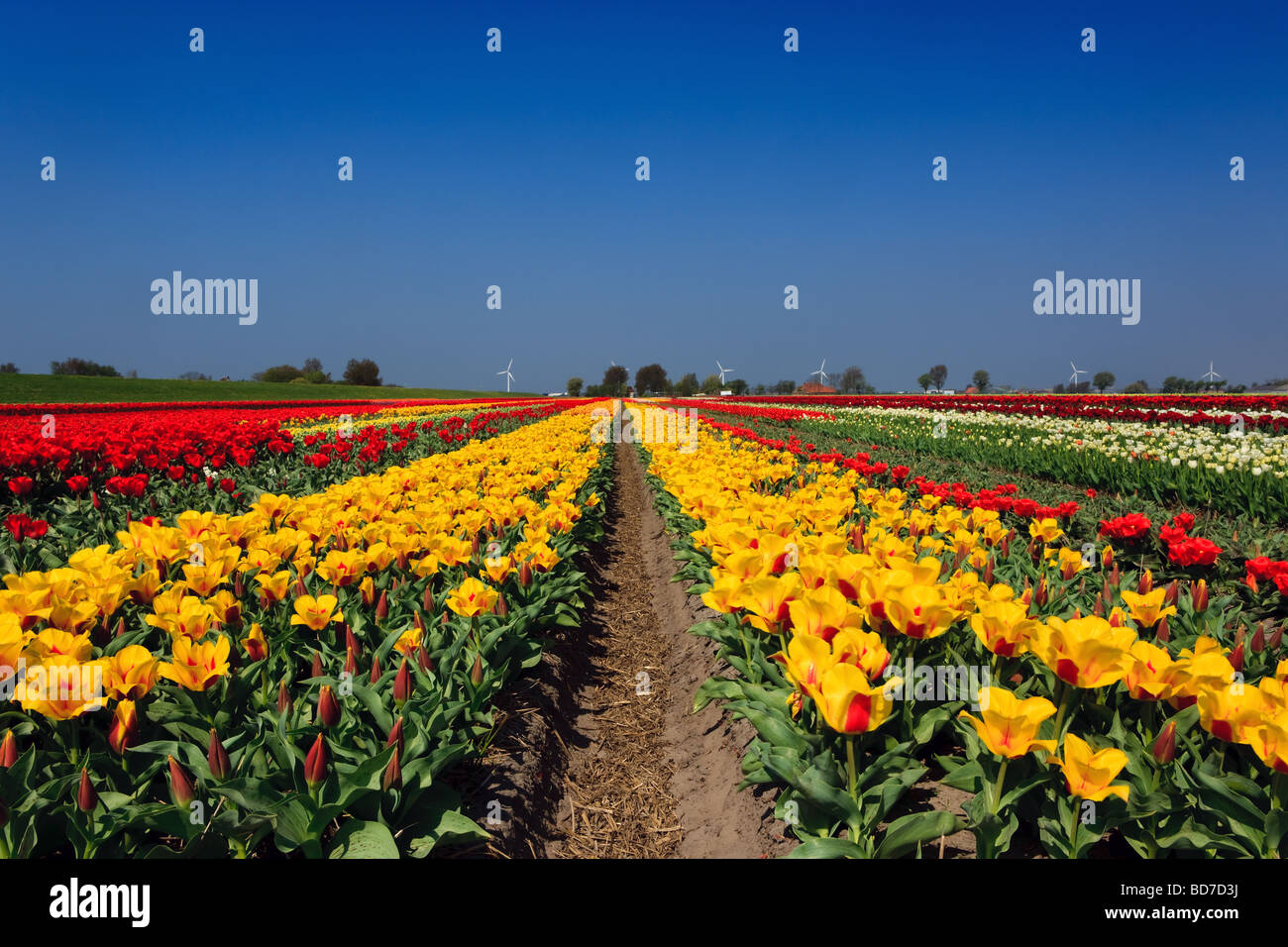 Tulip Fields North Holland Netherlands - Stock Image