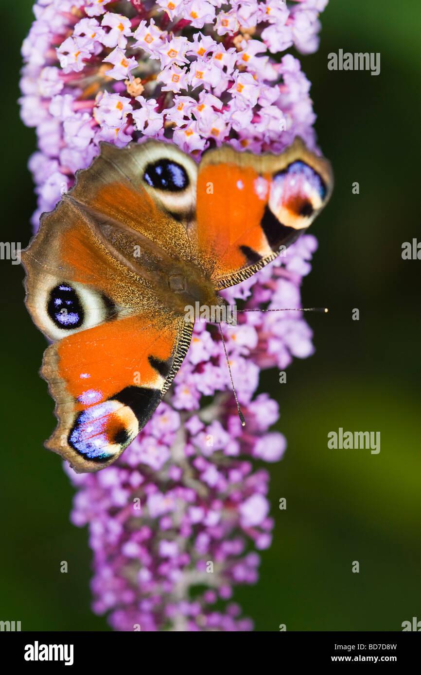 Peacock butterfly (Inachis io) feeding on a Buddleia (Buddleja davidii) flower spike - Stock Image