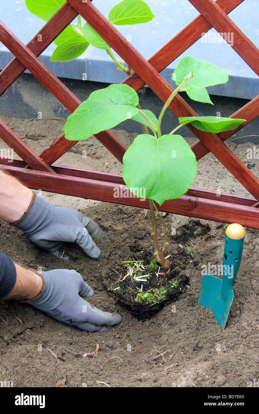 Kiwipflanze pflanzen planting a kiwi plant 04 - Stock Image